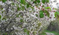 La fioritura dei ciliegi a Vignola
