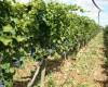 Agriturismo Monticchio Resort  Il vigneto 13/07/17 13:02