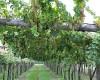 Area Camper Erbaluce  I grappoli dorati dell'Erbaluce 05/10/10 20:35