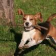 The Beagle